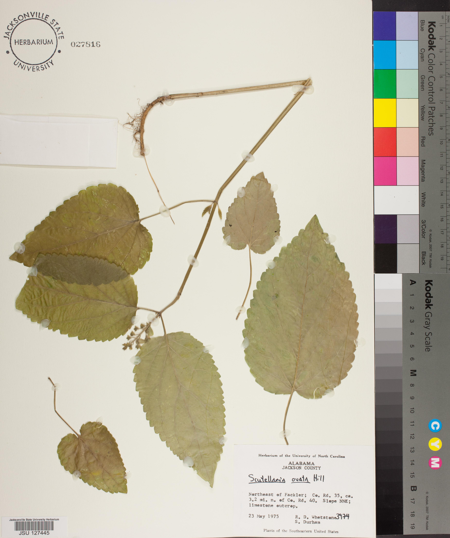 Scutellaria Ovata Species Page Apa Alabama Plant Atlas