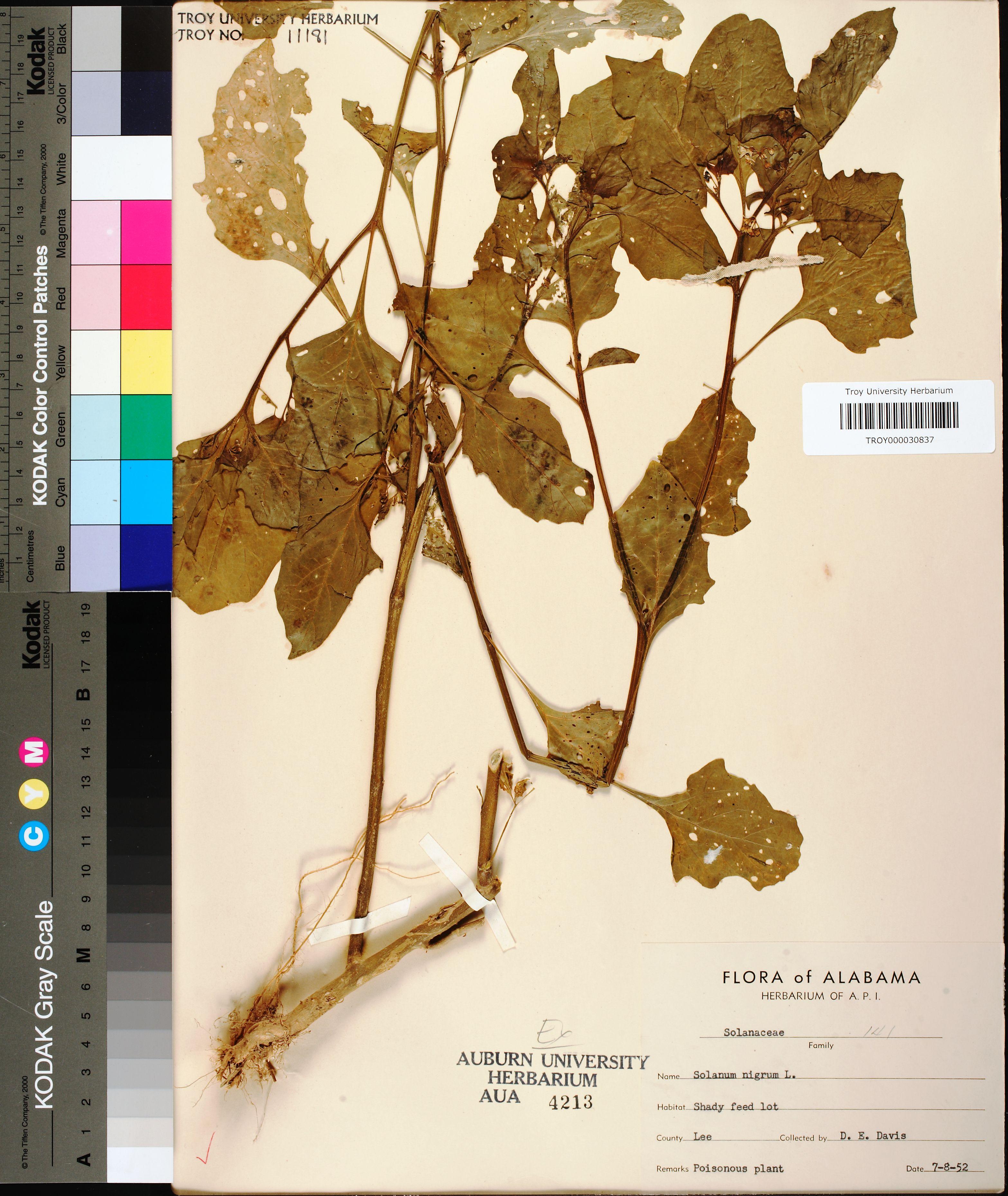 Solanum Nigrum Solanum Nigrum Linnaeus This