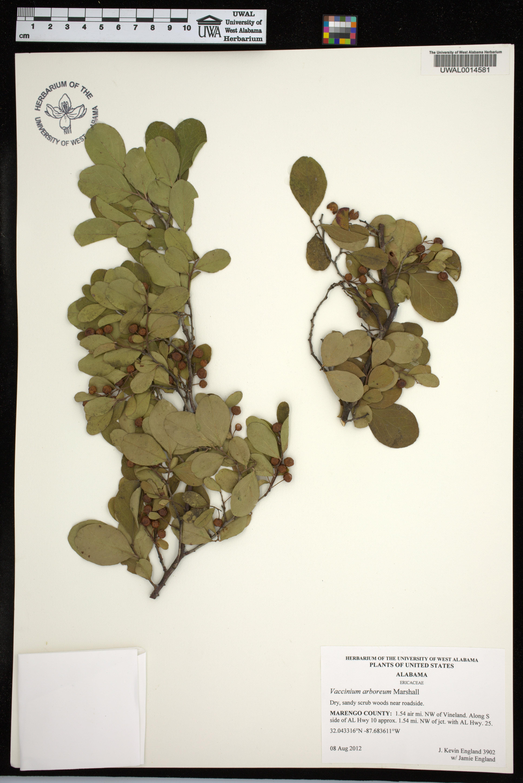 Vaccinium arboreum - Species Page - APA: Alabama Plant Atlas